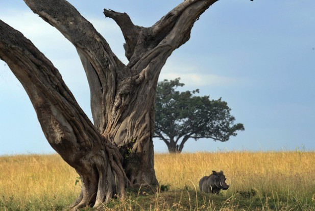 warthog-kenya-617x413