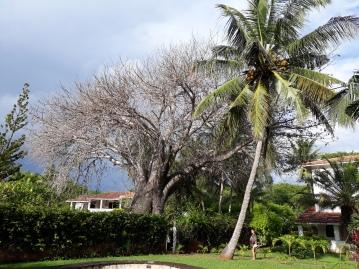 huge baobab in the garden